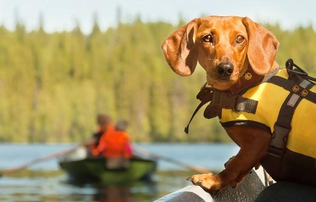 Sausage dog on helm of boat