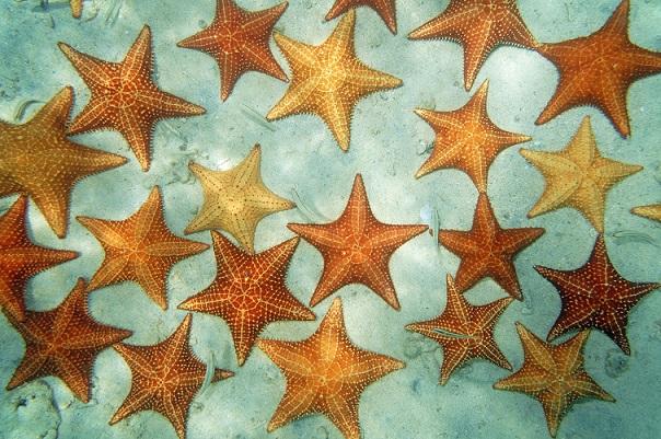 Lovely golden sea stars
