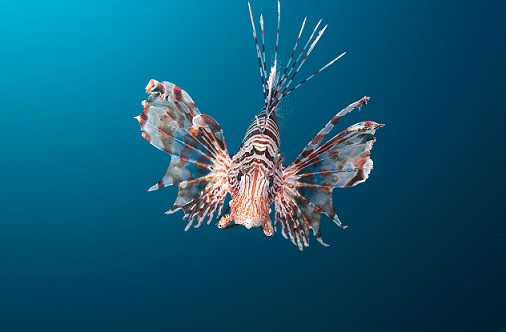 Turkeyfish in the sea