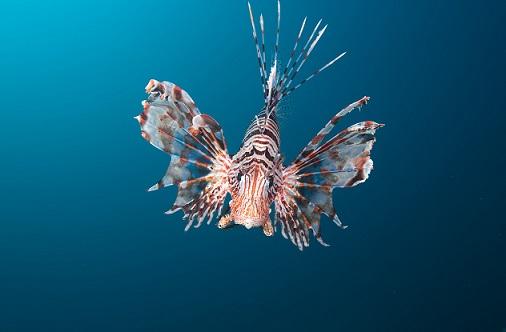 Turkeyfish in the sea